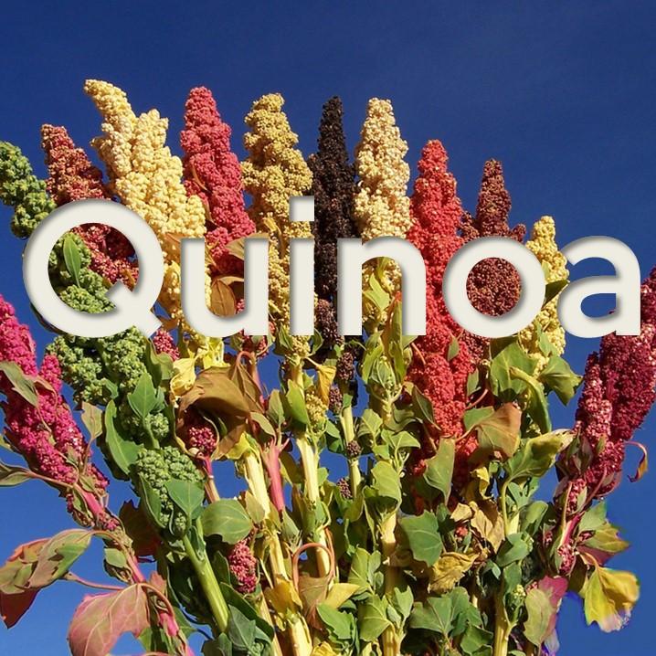 La quinoa è un cereale altamente proteico ed energetico, facilmente digeribile: è fonte di proteine nobili, fibre alimentari, grassi polinsaturi e minerali.