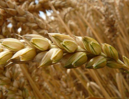 Cereali integrali, decorticati e perlati