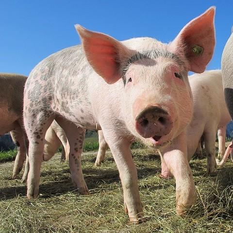 allevamento maiale